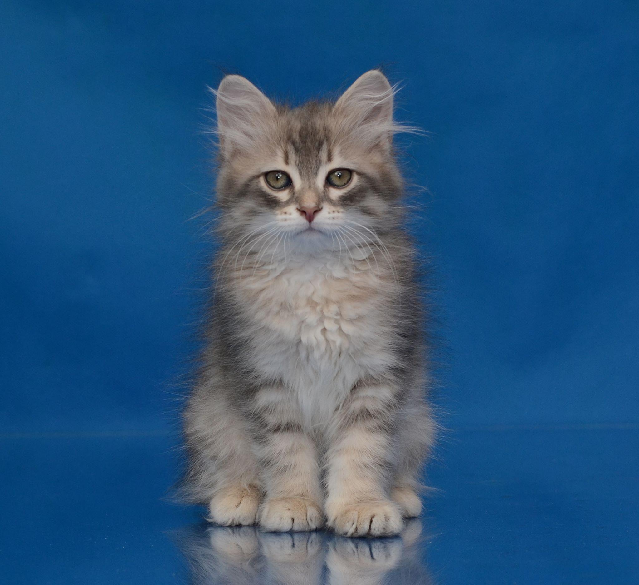 koty-syberyjskie